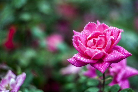 rose01