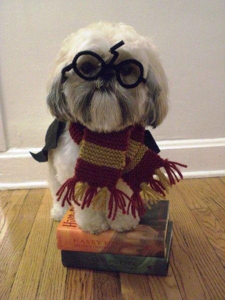 Harry Potter shih tzu. I need that dog