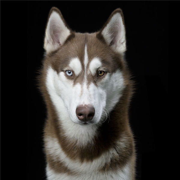 21 Owen, a young and very hyper Husky with heterochromic eyes.