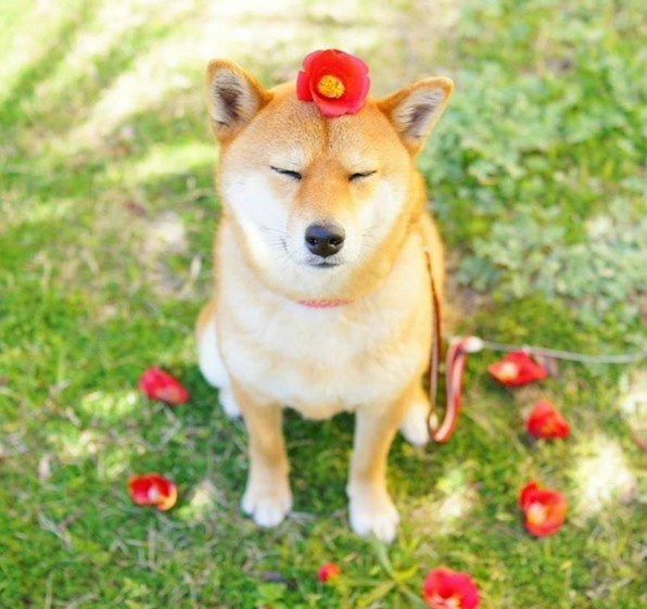 用博客15 清新柴犬 Yuri