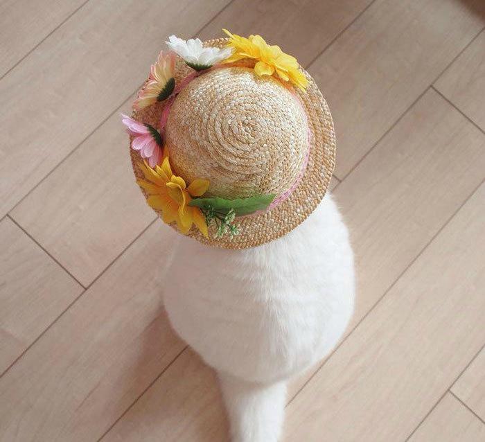 博客傲14可爱的白色苏格兰折耳猫