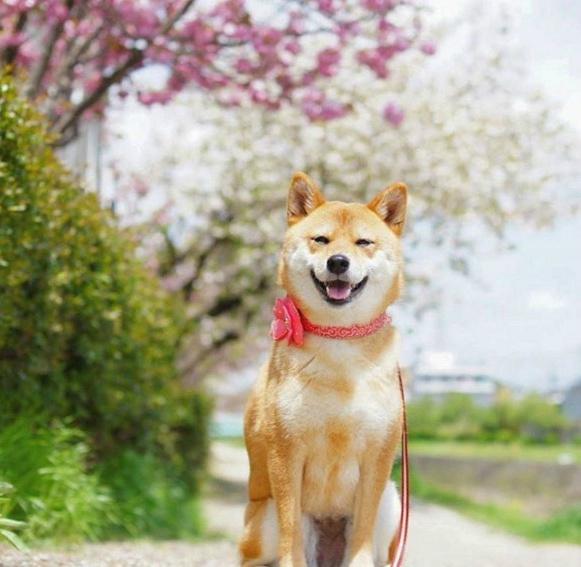 用17 清新柴犬 Yuri (1).jpg